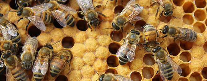 Worker honey bees attending to uncapped larvae in the brood nest. Also pictured: capped brood.